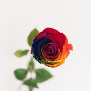 Rose éternelle arc-en-ciel